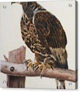 Safari Hawk Acrylic Print