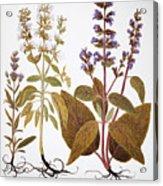 Sage, 1613 Acrylic Print