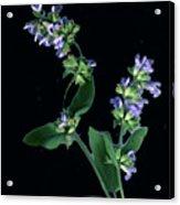 Sage Blossom  Acrylic Print