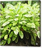 Sage Plant Acrylic Print