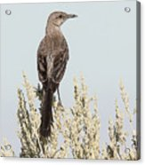 Sage Thrasher On Perch Acrylic Print