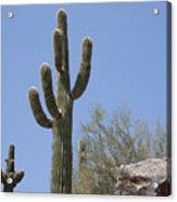 Saguaro 6 Acrylic Print