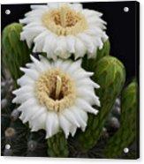Saguaro Blooms II Acrylic Print