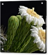 Saguaro Blooms  Acrylic Print