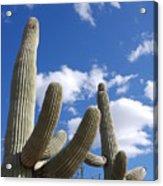 Saguaro Cacti  Acrylic Print