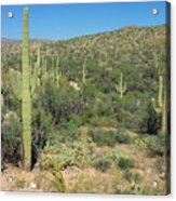 Saguaro Cacti Tucson Az Acrylic Print