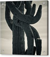 Saguaro Cactus Armed And Twisted Acrylic Print