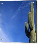 Saguaro Cactus H Acrylic Print