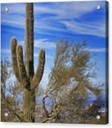 Saguaro Cactus Of The Desert Southwest Acrylic Print