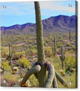 Saguaro With Down Twist Acrylic Print