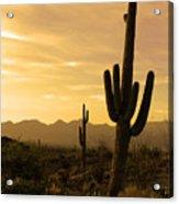 Saguaros At Sunset Acrylic Print