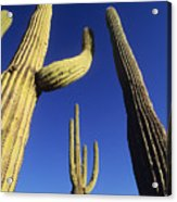 Saguaros Dwaft One Another Acrylic Print