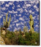 Saguaros Under A Cloud Dappled Sky Acrylic Print