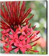 Saint Lucia Flower IIi Acrylic Print