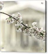 Sakura At The Basin Acrylic Print