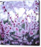 Sakura Blossom Acrylic Print