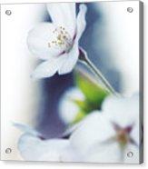 Sakura Cherry Blossom Flowers Acrylic Print