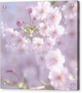 Sakura Trees Acrylic Print