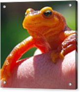 Salamander Acrylic Print