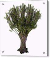 Salix Viminalis Tree Acrylic Print