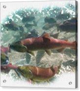 Salmon Migration Acrylic Print