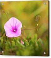 Saltmarsh Morning Glory Flower  Acrylic Print