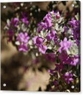 Salvia Dorrii Acrylic Print