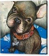 Sammy The French Bulldog Acrylic Print