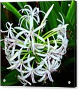 Samoan Spider Lily Acrylic Print