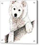 Samoyed Puppy Acrylic Print