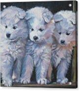 Samoyed Pups Acrylic Print
