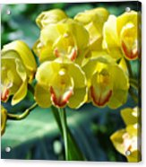 San Diego Yellow Orchids Acrylic Print