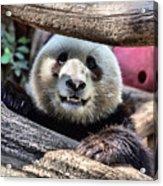 San Diego Zoo California Giant Panda Acrylic Print