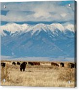 San Luis Valley And Cattle Acrylic Print