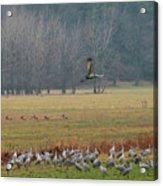 Sand Hill Crane Migration Acrylic Print