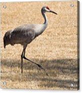 Sand Hill Cranes Acrylic Print