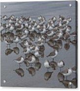 Sanderlings On The Shore Acrylic Print
