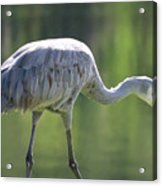 Sandhill And Green Pond Acrylic Print
