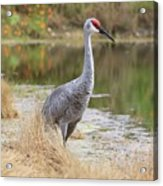 Sandhill Beauty By The Pond Acrylic Print