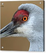 Sandhill Crane 6 Acrylic Print