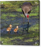 Sandhill Crane And Babies Acrylic Print