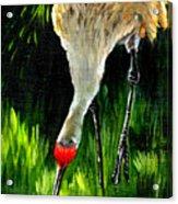 Sandhill Crane Acrylic Print