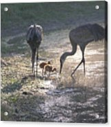 Sandhill Crane Family In Morning Sunshine Acrylic Print by Carol Groenen
