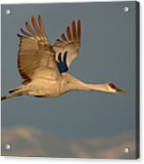 Sandhill Crane Flying Above The Mountains Of New Mexico Acrylic Print