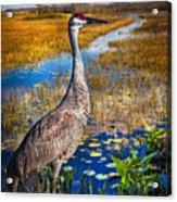 Sandhill Crane In The Glades Acrylic Print