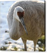 Sandhill Crane In Winter Acrylic Print