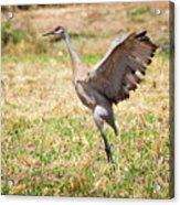 Sandhill Crane Morning Stretch Acrylic Print