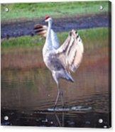 Sandhill Crane Painted Acrylic Print