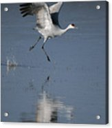 Sandhill Crane Running On Water Acrylic Print