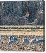 Sandhill Crane Series #3 Acrylic Print